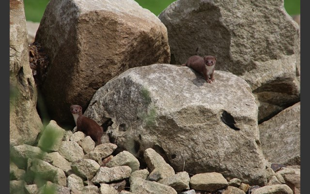 a family of stoats make a home at the London 2012 mountain biking course