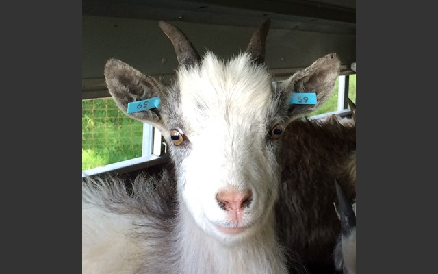 Goats descended from rare breed