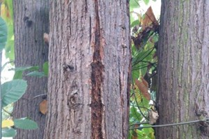 Tree with Chestnut blight