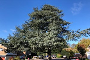 Large tree at Shenfield Place, Brentwood