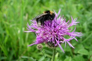 Foraging bee at Roadside Verge in Uttlesford
