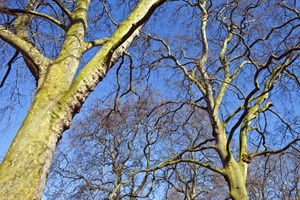Trees in the royal parks